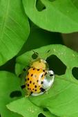昆蟲篇...4:大黑星龜金花蟲