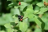 夾竹桃科植物  :四葉蘿芙木