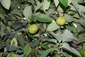番荔枝科植物:圓滑番荔枝