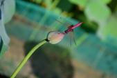 蜻蜓之吻:DSC_0153