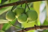 藤黃科植物:蛋樹