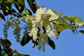 楊柳科植物 (大風子科植物併入 ):天料木