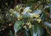 夾竹桃科植物  :乳藤