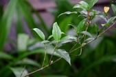 茜草科植物:狗骨仔
