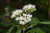 菊科植物:扁桃斑鳩菊 (南非葉)