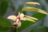 番荔枝科植物:瓜馥木