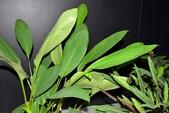 薑科植物...2:中國薑