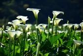 天南星科植物:馬蹄蓮 (海芋)