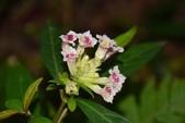 爵床科植物 :易生木