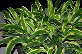 薑科植物...2:白紋薑
