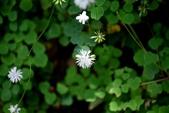 毛茛科植物:傅氏唐松草