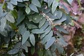 葉下株科植物:守宮木