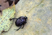 昆蟲篇...4:糞金龜