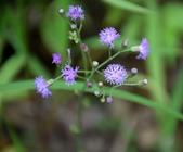 菊科植物:一枝香