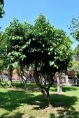 藤黃科植物:山鳳果