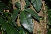 天南星科植物:合果芋