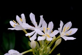 石蒜科植物:假玉簪