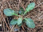菊科植物:長穗鬼督郵