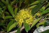 桃金孃科植物:黃金蒲桃