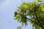 葉下株科植物:茄苳