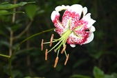 百合科植物:艷紅鹿子百合