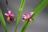 薑科植物...2:cwcuma sp