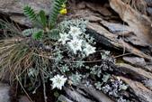 菊科植物:玉山薄雪草
