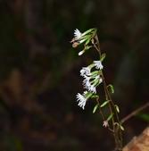 菊科植物:台灣鬼督郵