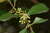 冬青科植物:烏來冬青 (南台冬青)