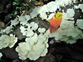 野生菇:略薄多孔菌
