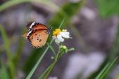 昆蟲篇...4:樺斑蝶