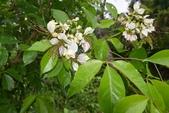 山柑科植物:魚木