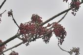 楊柳科植物 (大風子科植物併入 ):山桐子