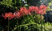 石蒜科植物:紅花石蒜