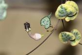 夾竹桃科植物  :愛之蔓