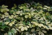 五加科植物:蘭嶼斑葉鵝掌柴