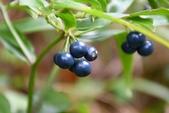 秋水仙科植物:山寶鐸花