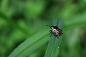 昆蟲篇...4:藍益椿