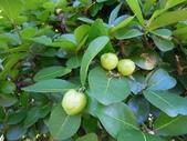 西印度櫻桃:DSCN2143