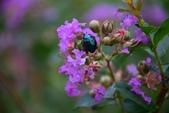 昆蟲篇...4:藍豆金龜