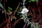 菊科植物:玉山抱莖籟簫