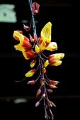 爵床科植物 :時鐘藤 (跳舞女郎)