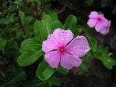 夾竹桃科植物  :日日春