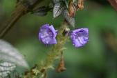 爵床科植物 :波斯紅草