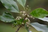 冬青科植物:鐵冬青 (雌花)