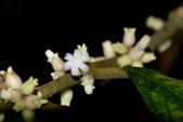 茜草科植物:白果雞屎樹
