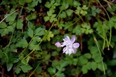 毛茛科植物:南湖唐松草