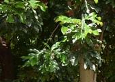 山龍眼科植物:火輪樹