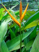 蕉科植物:黃鸝鳥蕉