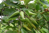 夾竹桃科植物  :武靴藤